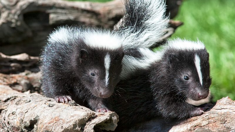 Four easy ways to help skunks in your community