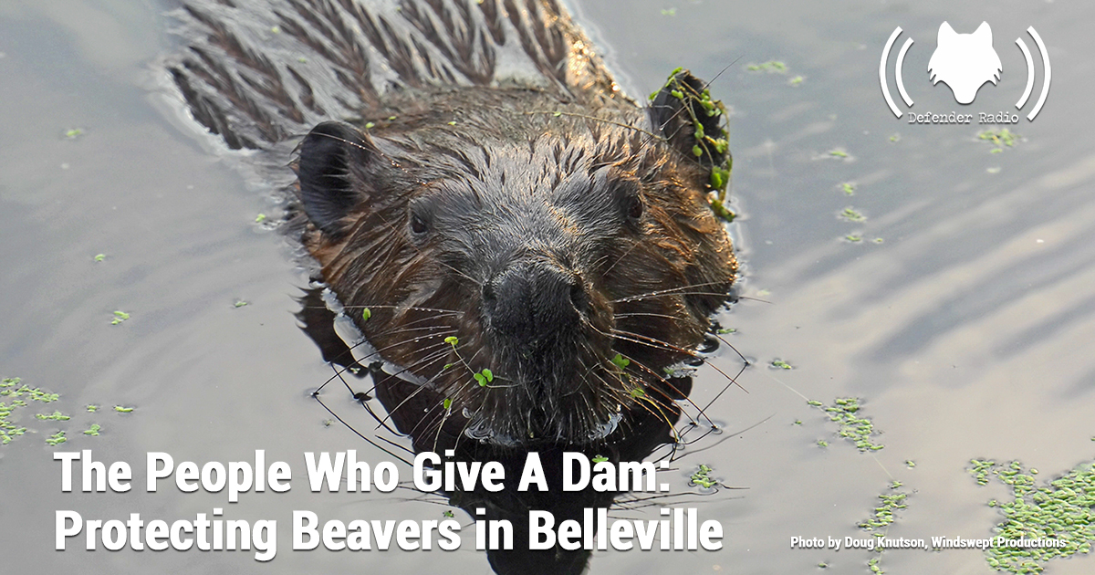 The People Who Gave A Dam: Protecting Beavers in Belleville