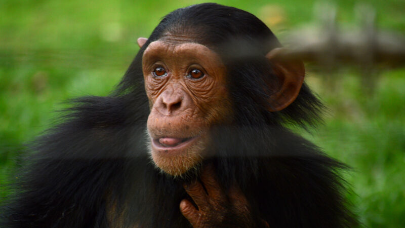A juvenile chimpanzee enjoying her protected forests and large family groups. Photo by Ana Giovanetti.