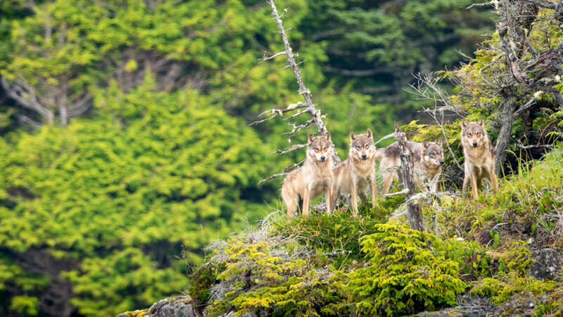 Wolf cull lands B.C. in court
