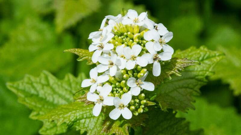 Garlic mustard is an invasive species that can choke out other native plant life and isn't as valuable to the ecosystem.