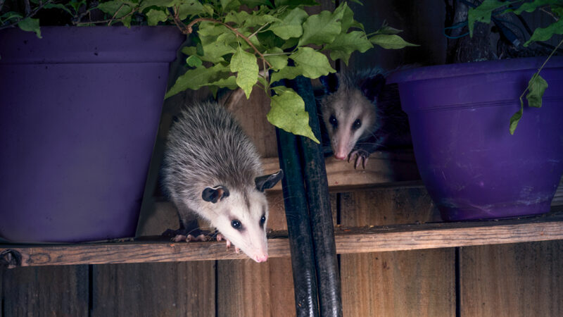 Possums eye a backyard from above